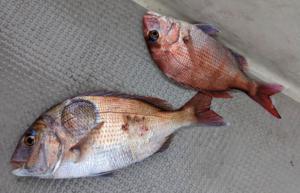 明石鯛ラバタイラバ